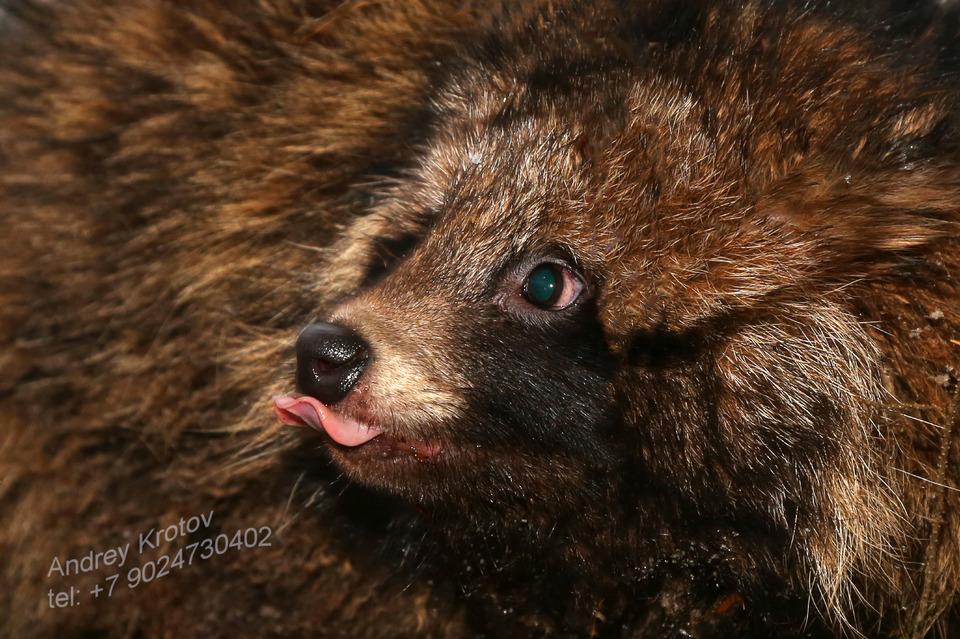Bear with tongue