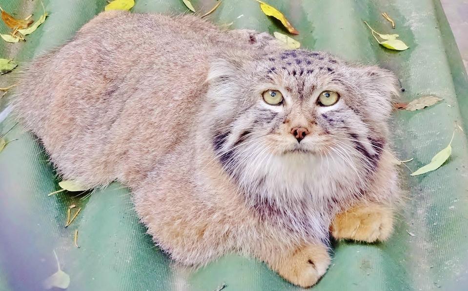 Cute manul | animal, cat, Pallas's cat , manul, wild, green eyes, fluffy, little ears, leaves, slate
