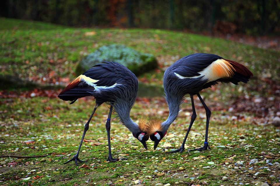 Two grey crowned cranes ,zoo in Munich