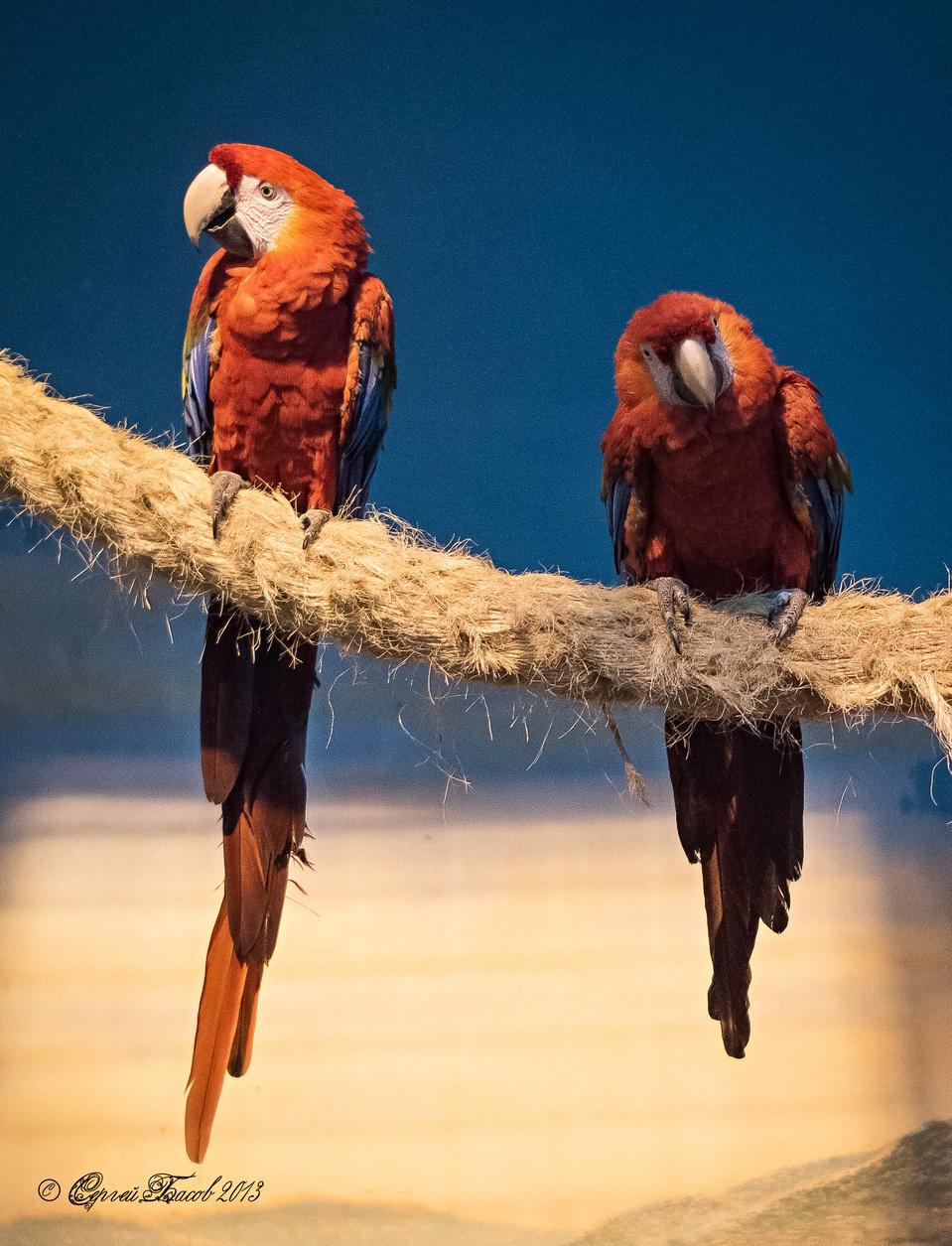Cute orange parrot