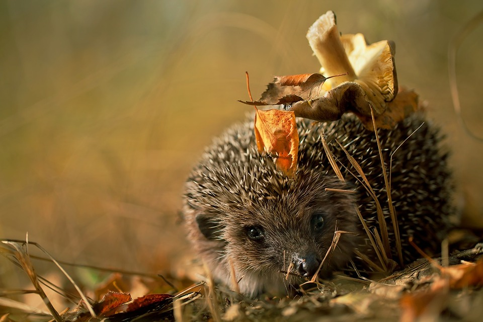 Little hedgehog carrying a mushroom | mushroom, hedgehog, fallen leafs, forest