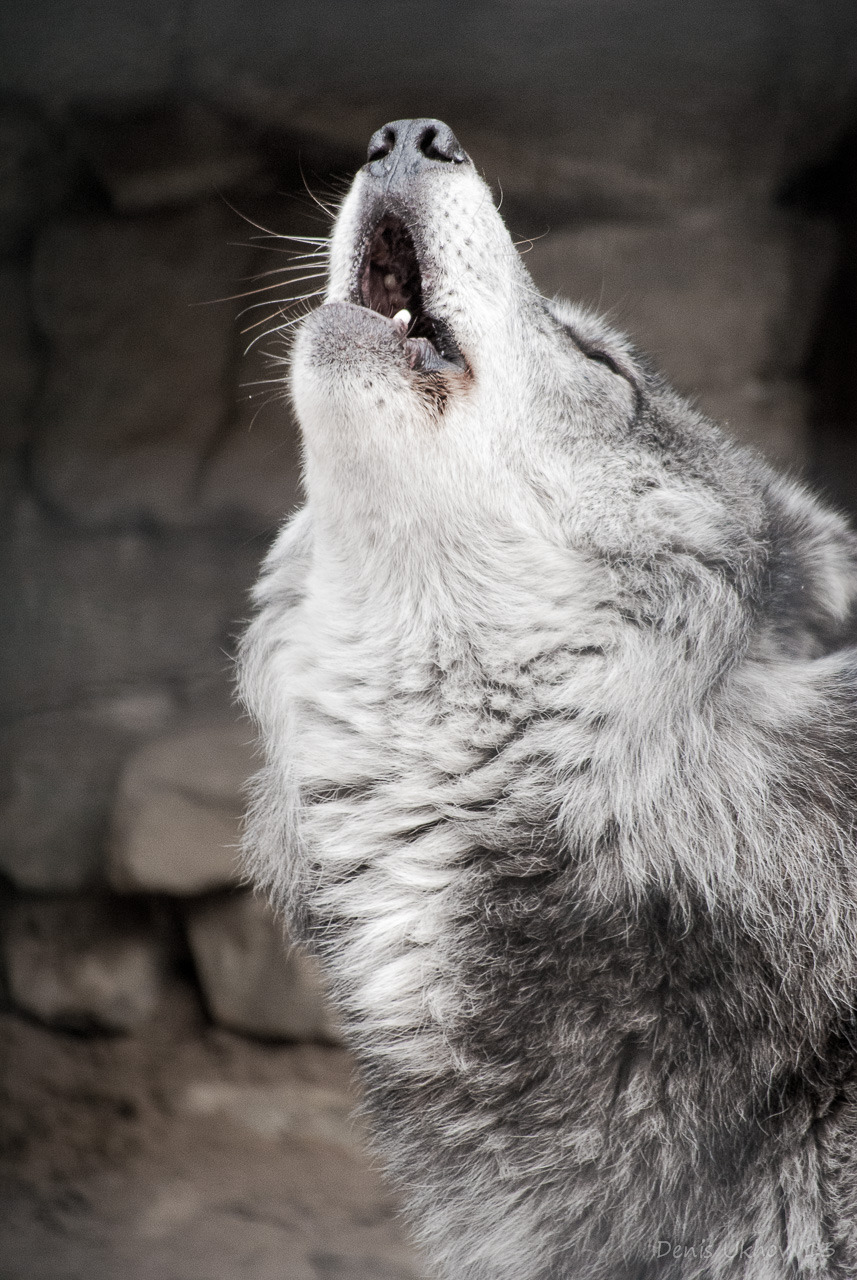 Howl of the grey wolf