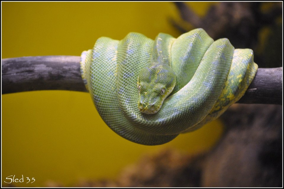 Snake sleeping on a branch