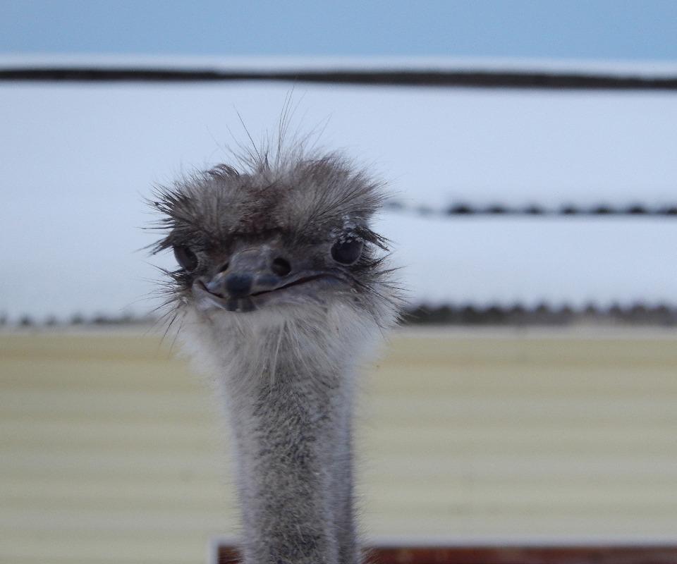 Ostrich smiles