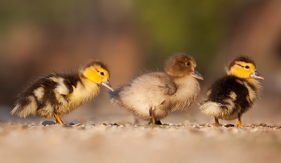 Ducklings walk in single file