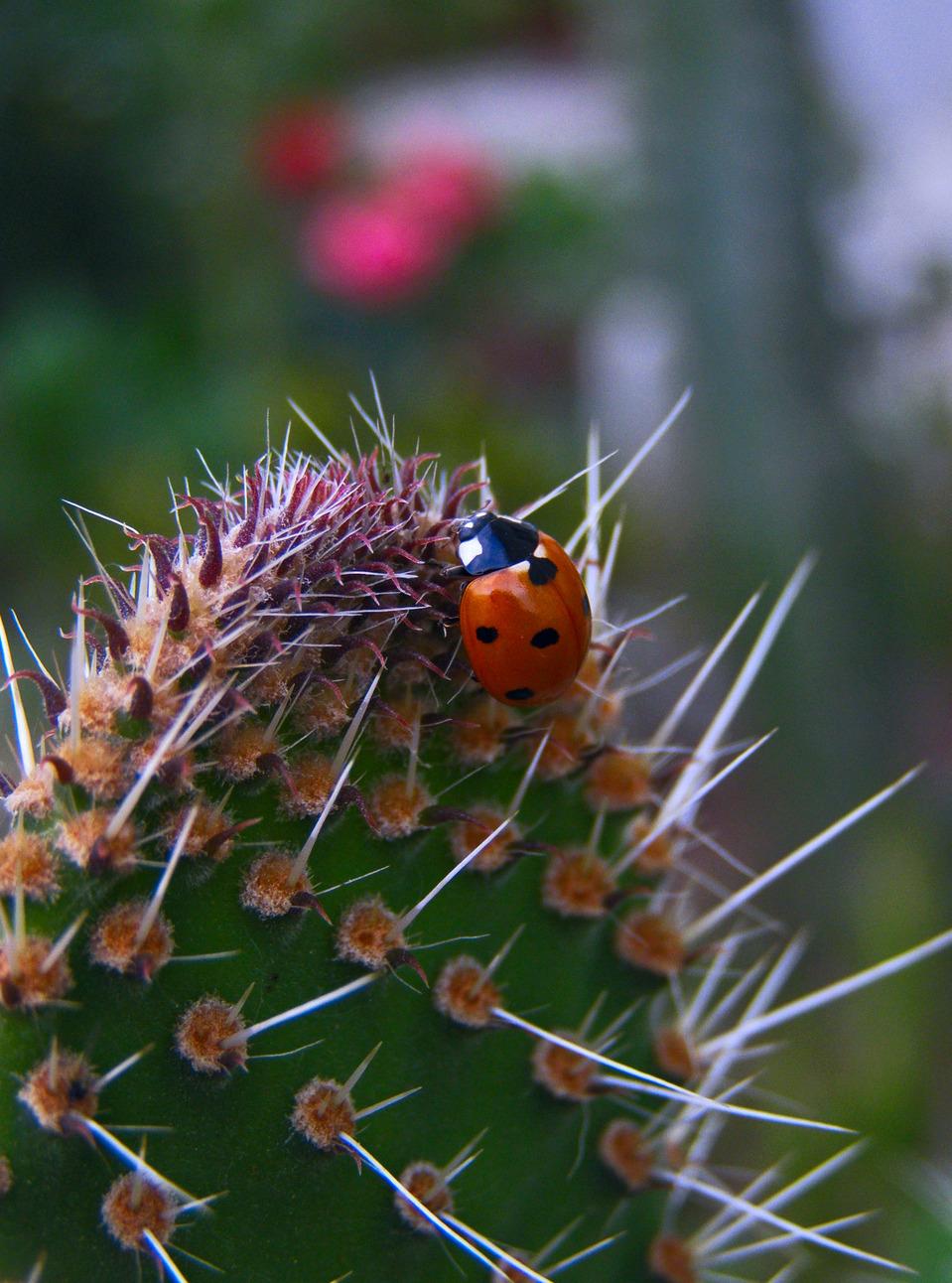 Ladybird eating cactus