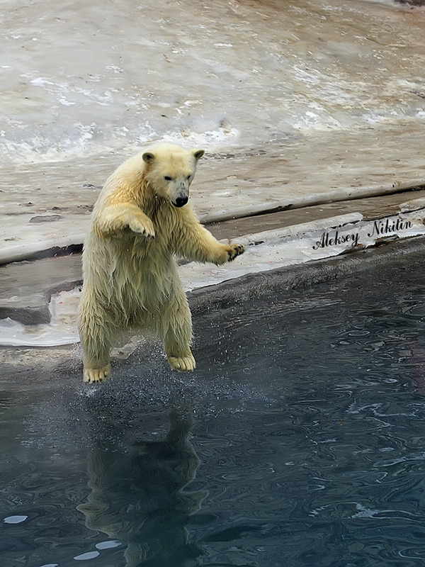 Polar bear dives
