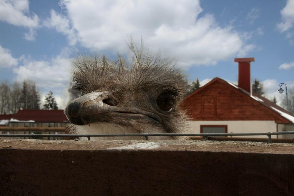 Cute ostrich beyond the fence | animal, ostrich, ostrich farm, fence, head, big eyes, beak, house, clouds, day