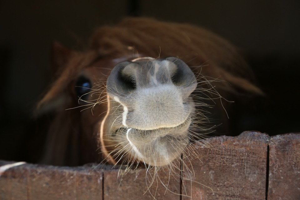 Cute brown horse | animal, horse, brown, muzzle, nostrils, eyes, fence, cute, forelock, enclosure