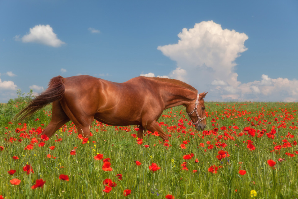 Beautiful horse in the poppy field