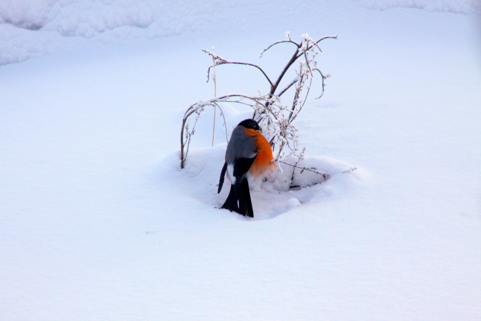 Winter came... | winter, bird, bush, snow