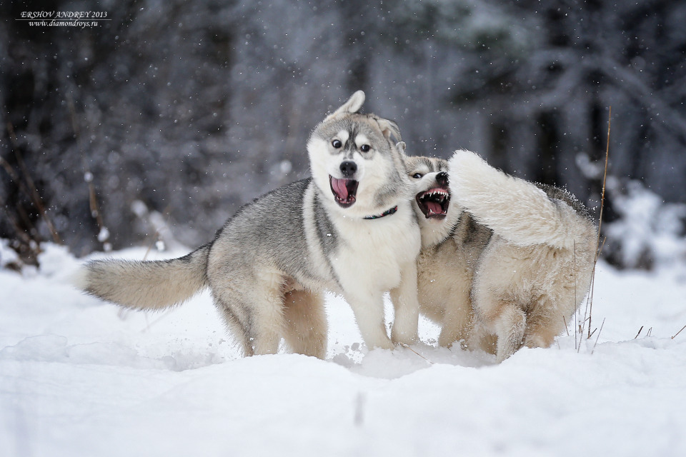 Winter games of the dogs