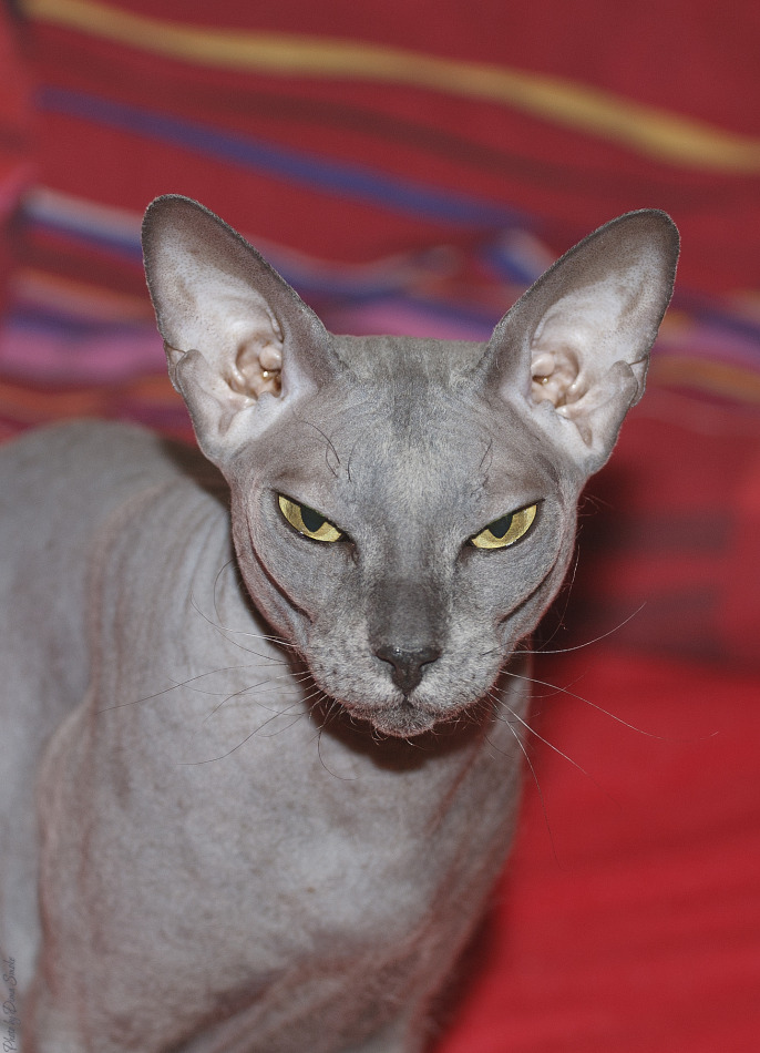 Menacing look of Sphynx