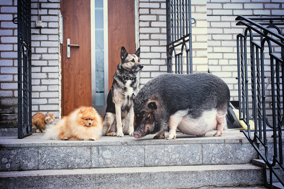 Dog, cat and ping | dog, cat, pig, porch