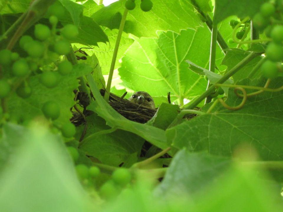 Nestling in the nest