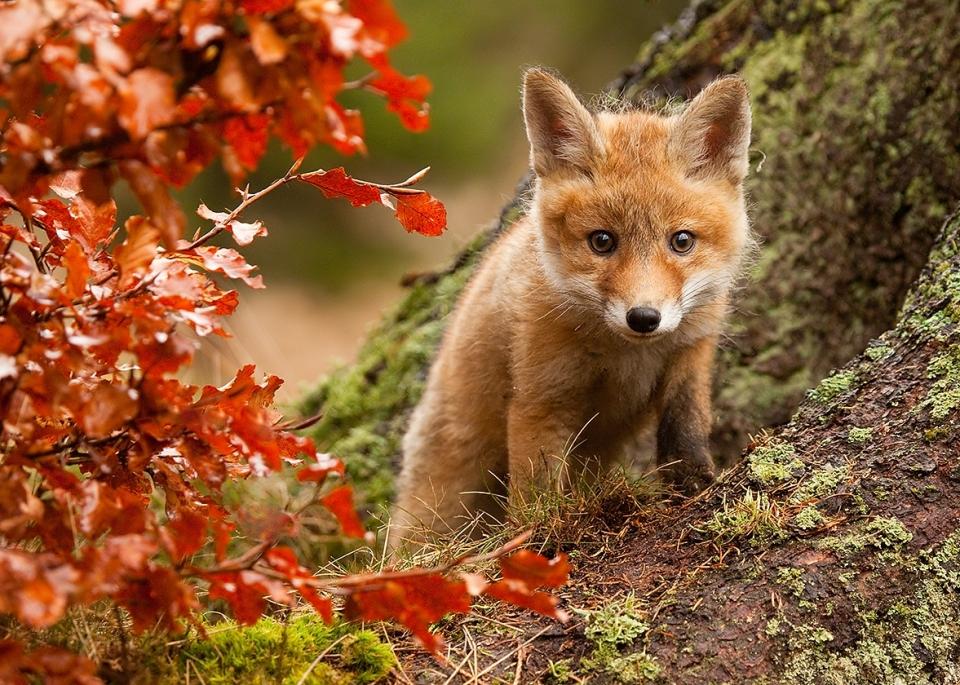 Little fox in the wild