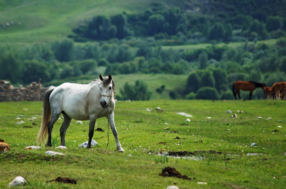 White horse | animal, pasture, horses, grass, green, nature, trees, white horse