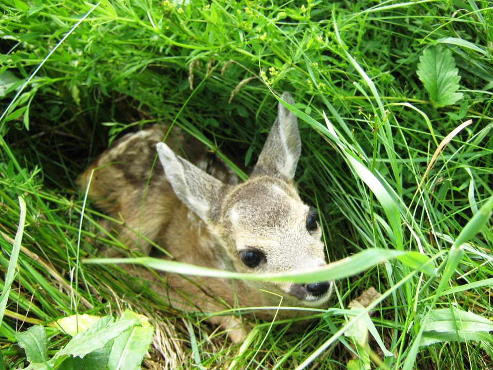 Cute little roedeer in tallgrass | animal, wild, roedeer, cub, tallgrass, green, little, big eyes, cute, newly-born