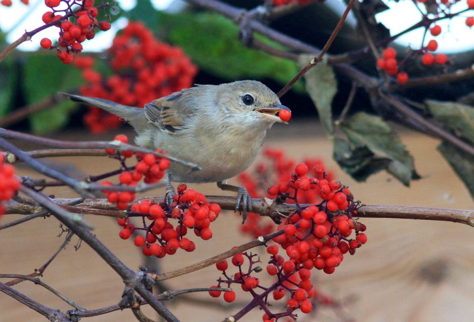 Bird eating ashberry