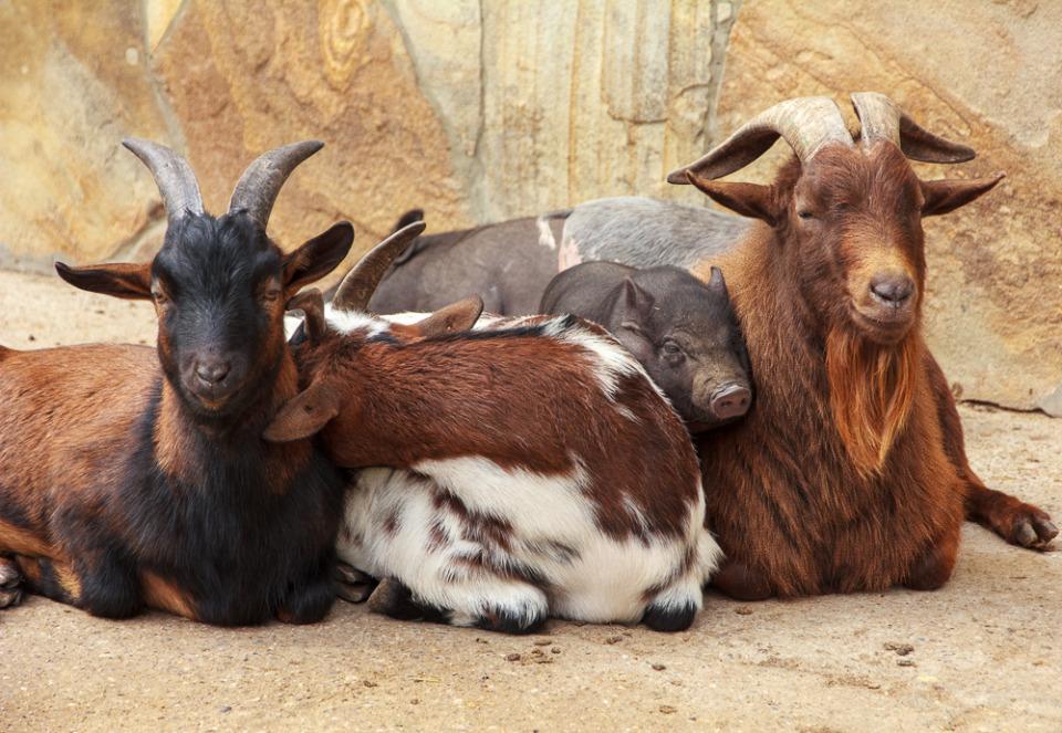 Frienship of goats and pigs | goat, pig, friendship, village