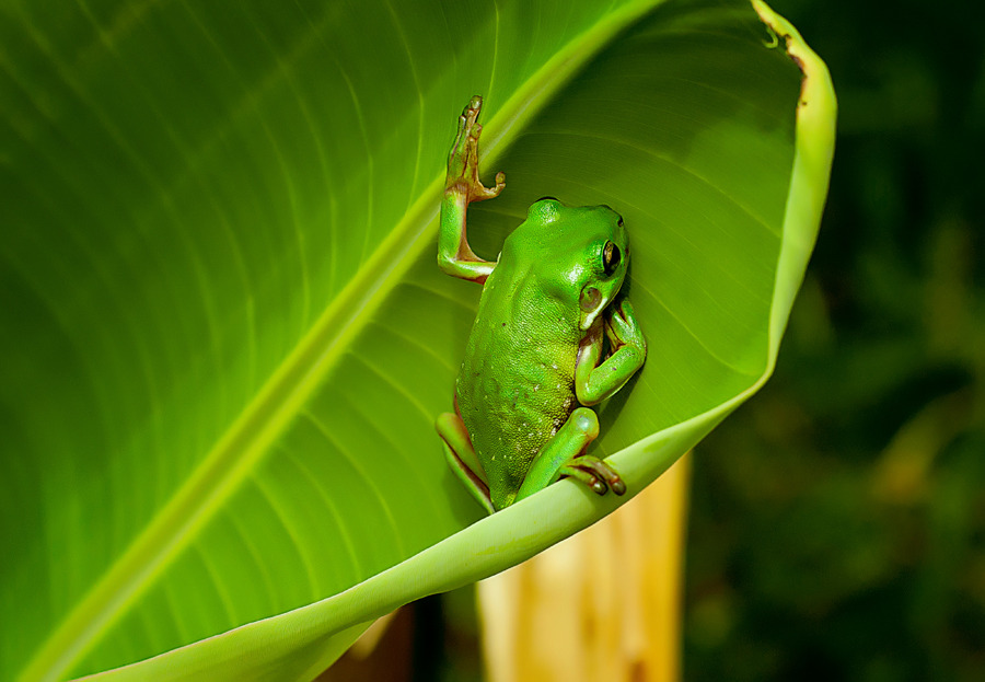 Green frog | animal, frog, green, wild, nature, leave, little, paws