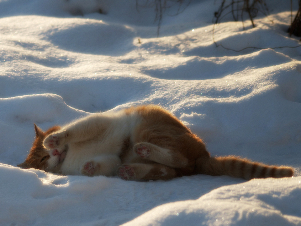 Red cat in the snowdrift