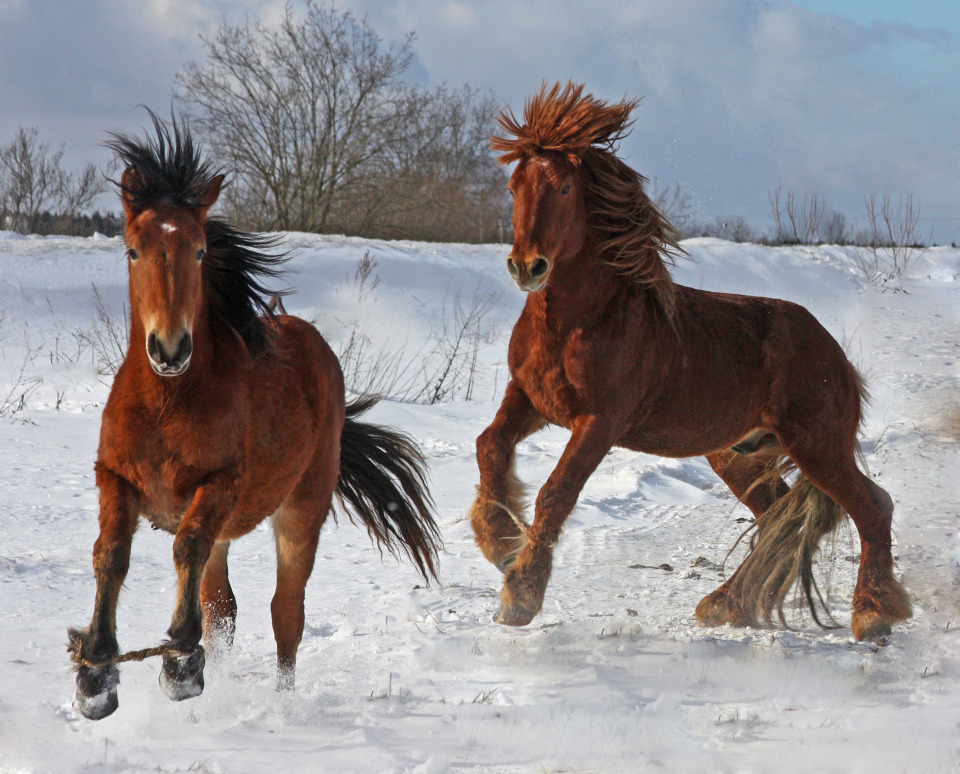 Beautiful horses in winter field | animals, horses, brown, snow, winter, trees, field, mane, hoof, roping
