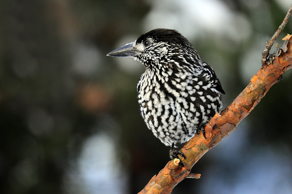 Black-and-white nutcracker