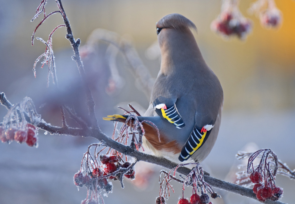 Beautiful bohemian waxwing | animal, bird, Bohemian waxwing, winter, berries, colourful, branch, hoarfrost, cold, wild