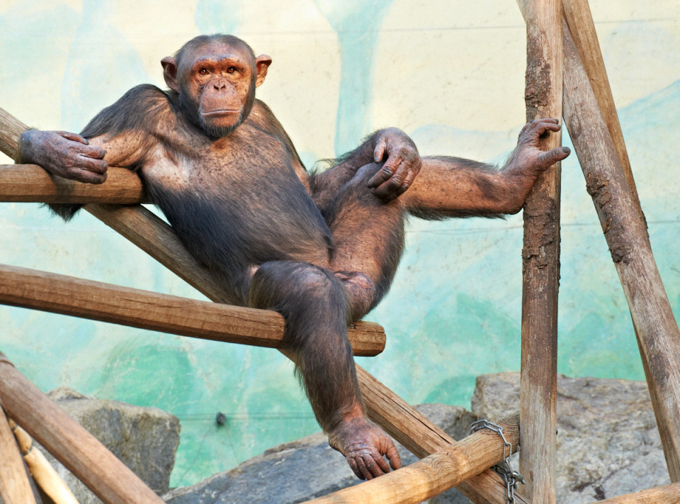 Brutal chimpanzee