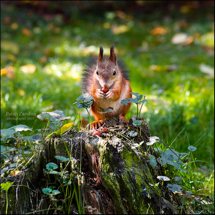 Squirrel eats nuts on the stump