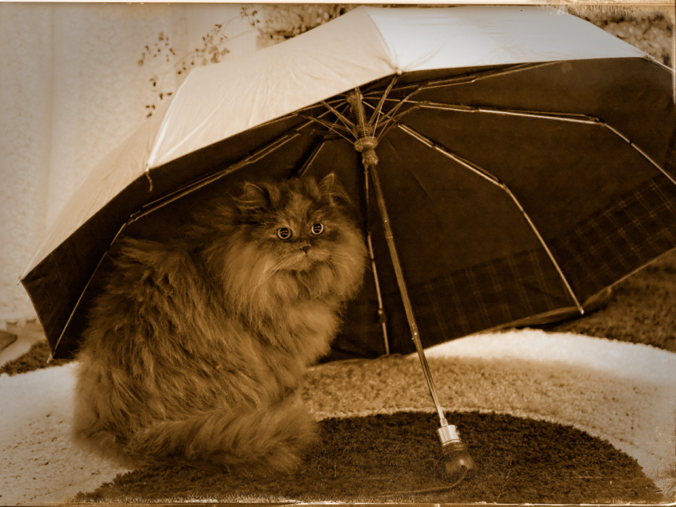Cute cat under an umbrella  	 | animal, cat, pet, umbrella, fluffy, eyes, big, sit, long-haired, cute