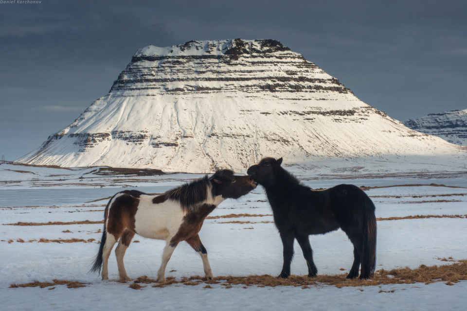 Horses kissing | horse, mountain, snow, winter