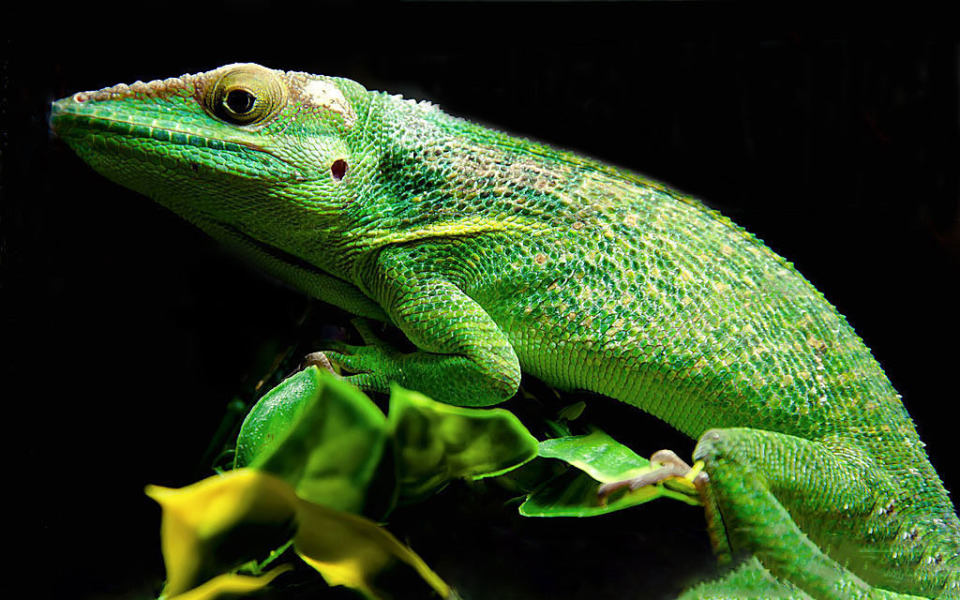 The knight anole | knight anole, reptile, green, head, eyes, leaves, paws, yellow, scaly, animal