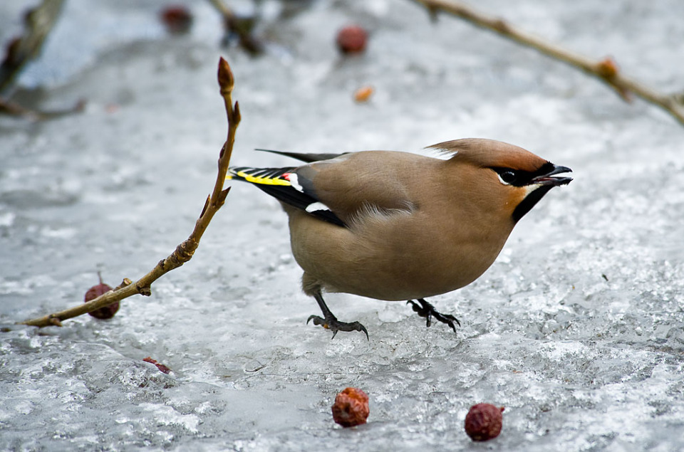 Bombycilla garrulus | Bombycilla garrulus, bird  , winter, ice, twigs, berry, beak, songbird, brown, tail