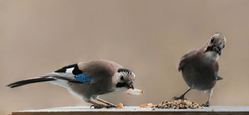 Two cute jays