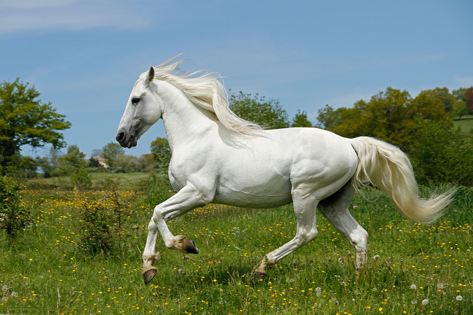 Snow-white beautiful horse | animal, horse  , white, beautiful, sunny day, summer , field, green grass, dandelions, trees