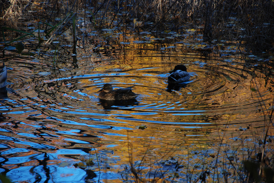 mallards in pools of gold reflections