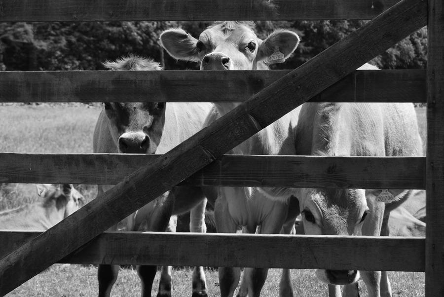 peeping cows